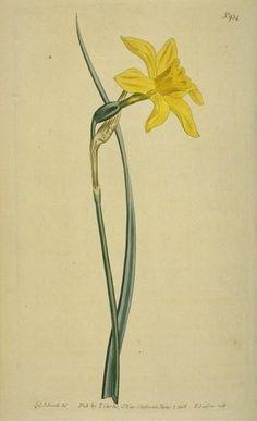 daffodil tattoo - Google Search