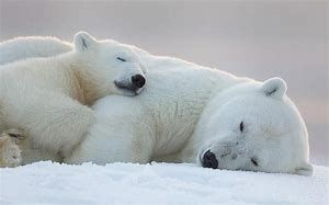 Image result for Baby polar bears