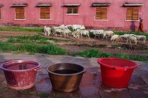 FTA: Joe Penney: Sheep walk by buckets of water in front of a colonial-era school