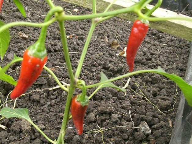 Come coltivare peperoni nell'orto: qualche consiglio