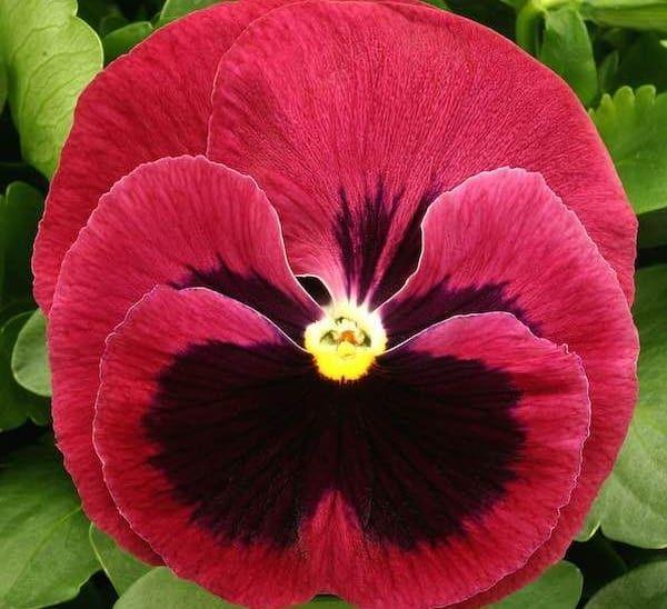 Matrix Rose Blotch Pansy Calloway S Nursery Pansies Flowers Annual Flowers Flower Seeds