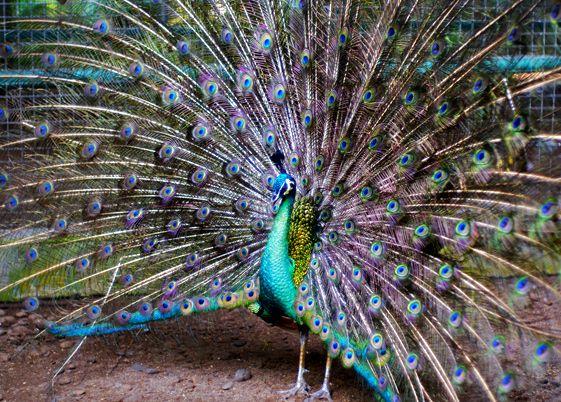 Peacock bird.