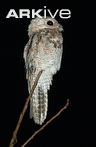 Relaxed great potoo perched on branch © Michel Giraud-Audine. What an amazing bird - such camoflauge,