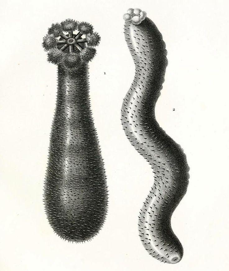 Strzykwy /1. Holothuria peruviana, 2. Holothuria edulis/ (Lesson 1830)