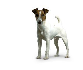 Fox Terrier a pelo liscio