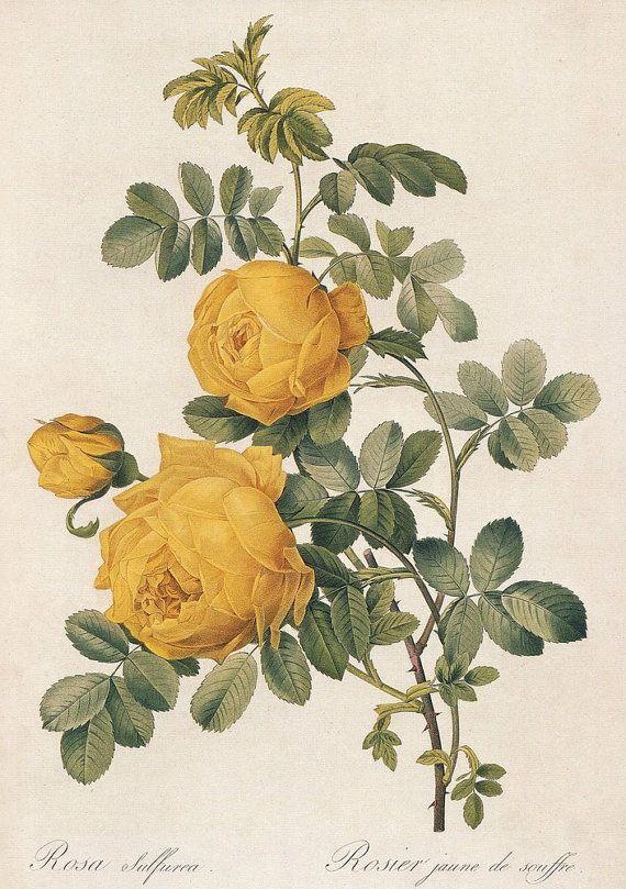botanical print-yellow rose                                                                                                                                                                                 More