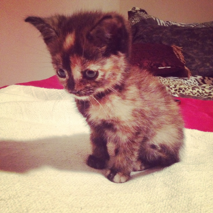 My new baby Annie, tortoiseshell kitten 8 weeks old (: