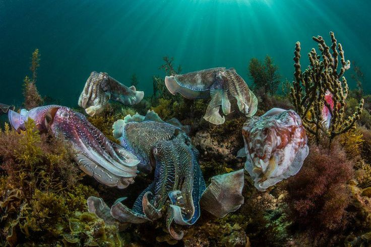 Are these the most amazing sea animals in South Australia? The giant cuttlefish that live off the coast of Whyalla on Eyre Peninsula Australia's Seafood Frontier, put on a dazzling colour show between May and August each year during spawning season. Grab your snorkelling or diving gear and watch these chameleons of the sea do their thing.   Photo by Scott Portelli (Australian winner in the recent Sony World Photography Awards)