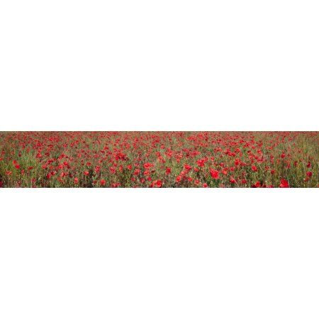 Field of poppies in bloom Saint-Martin-de-Castillon Vaucluse Luberon Provence-Alpes-Cote DAzur France Canvas Art - Panoramic Images (44 x 8)