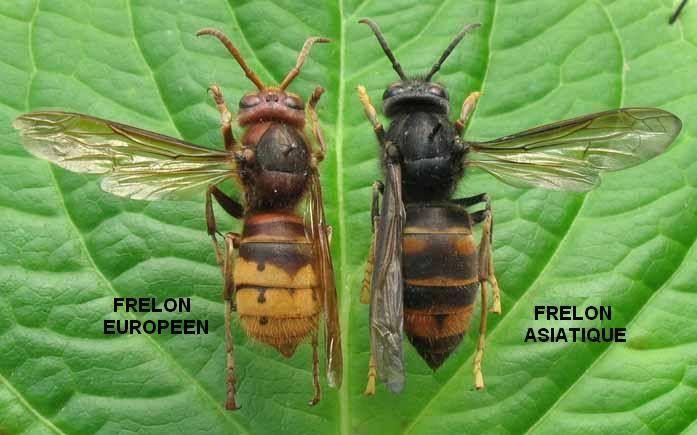 Comment lutter contre le Frelon Asiatique ?   Conseils Jardinage Bio