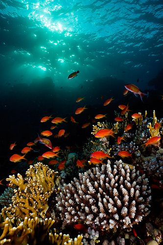 Hard coral and Anthias in Egypt's Red Sea. www.dahabvillas.com