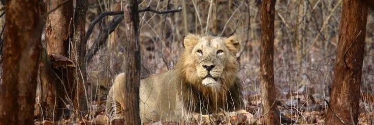 An old male Asiatic lion relaxing in Gir Forest National Park