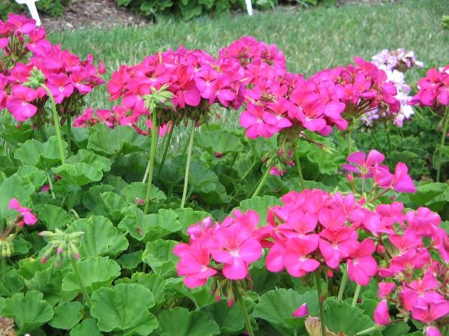 17 best images about pink geraniums on pinterest