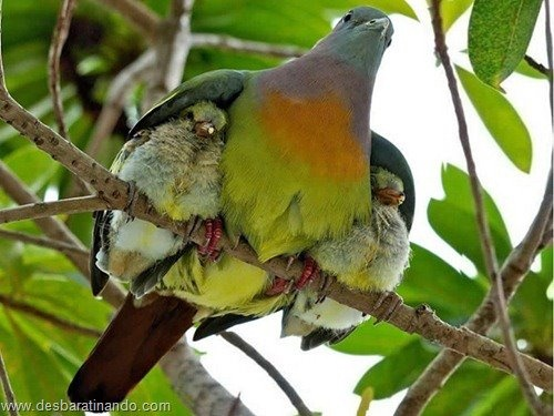 amorMothers Love, Mothersday, Mothers Day,  Turdus Migratorius, Wings,  American Robin, Feathers, Birds, Animal