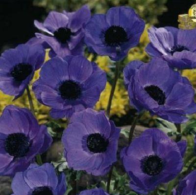 Anemona Mr. Fokker. Planteaza 1 bulb in martie - aprilie si vei avea anemone in aprilie - septembrie.