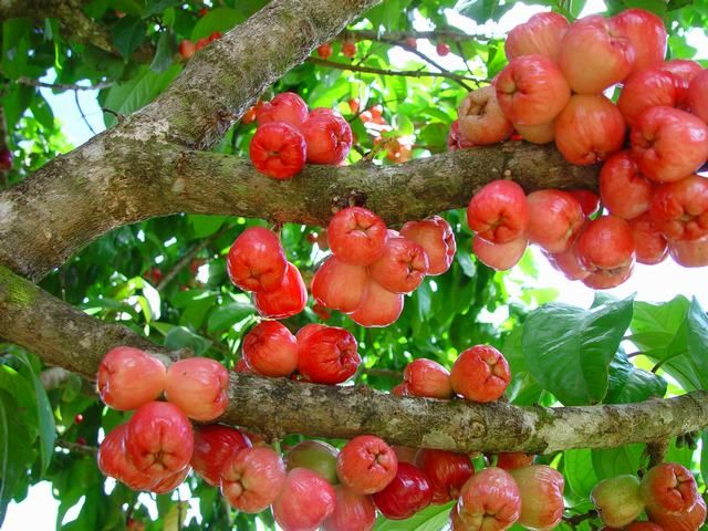 Malay apple Tree - Caribfruits - Pomme malacca / Fruits des Antilles