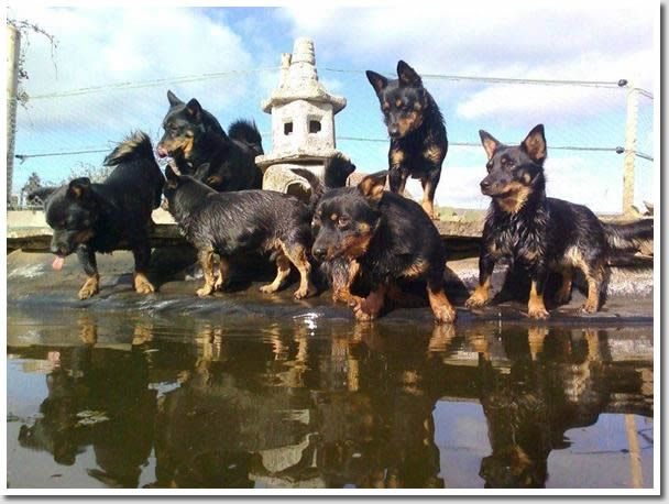 Ooh...I want one...or six! Lancashire Heeler #Dogs #Puppy