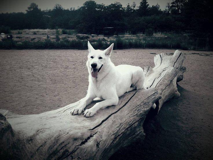 Rocky White german shepherd dog swiss shepherd berger suisse blanc