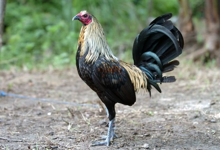1000 images about game fowl on pinterest coal miners for White mountain apache game and fish
