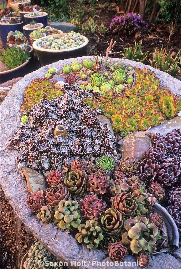Colorado Trough Garden Of Hardy Succulents With