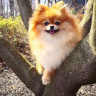 This smiley, nature-loving puffball. | Community Post: 23 Pomeranians Who Just Want To Make Your Day Brighter