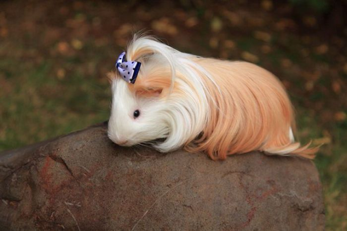 Guinea Pigs Having Most Majestic Hair i ever seen - Album on Imgur