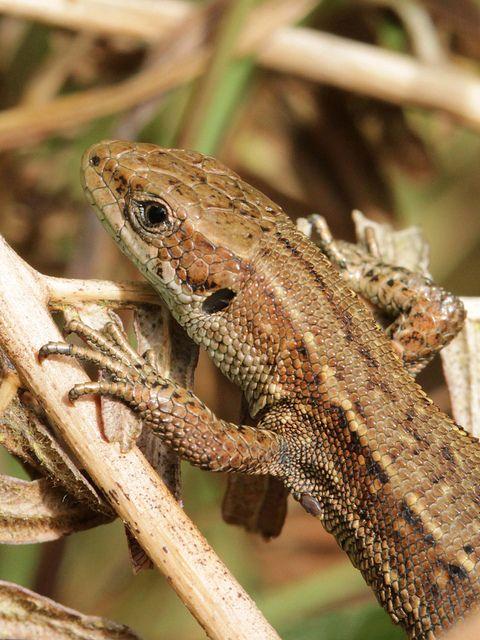 Zootoca (Lacerta) vivipara Common lizard