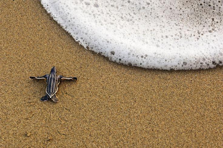 Filhote de tartaruga-de-couro se arrasta até o mar na Praia Matura, em Trinidad, nas Antilhas. A praia, que fica em Trinidad e Tobago, recebe todos os anos centenas de tartarugas para botar seus ovos.  Fotografia:  Brian J. Skerry/National Geographic Creative.
