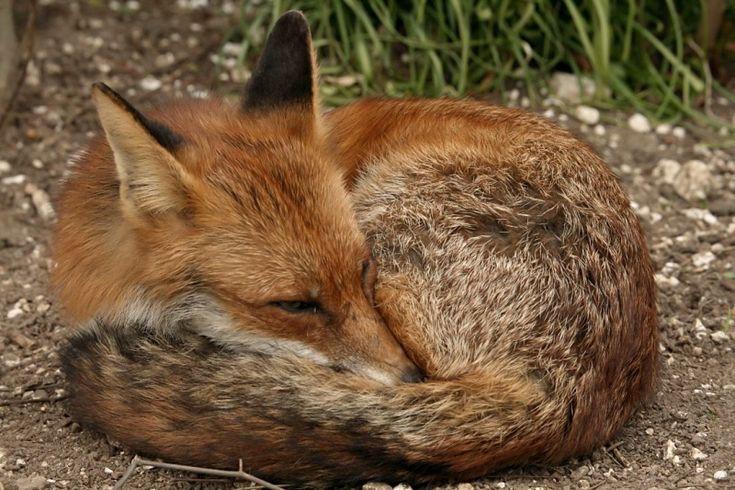 Rotfuchs | Bild:Schlafender-Rotfuchs-2054.jpg - Tierdoku