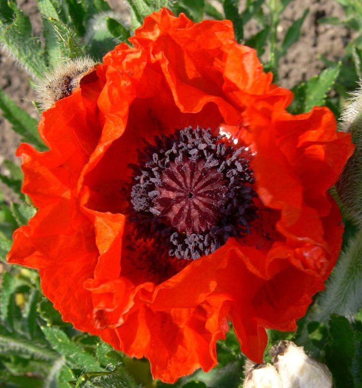 60 best flowers poppies images on pinterest poppies beautiful oriental poppy mightylinksfo
