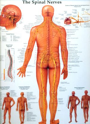 The Spinal Nerves