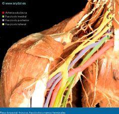 ARYDOL - Anatomía del plexo braquial
