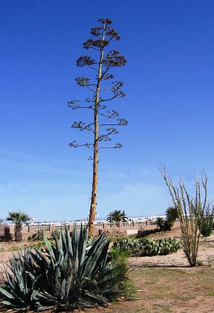 Old, dead agave flower spike. Young plant(s) called 'pups ...