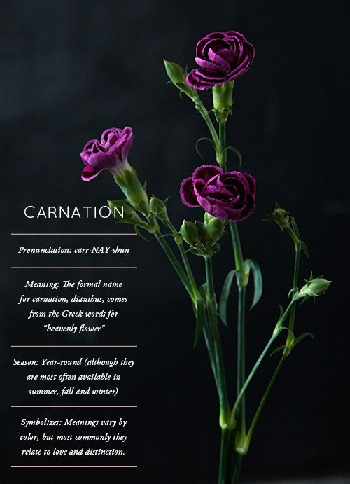 Everything you've ever wanted to know about CARNATIONS. Often overlooked, but full of surprises. #flowers #carnations