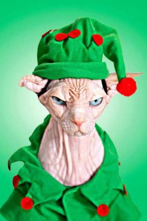 Best 25+ Cat christmas outfit ideas on Pinterest | Cheap christmas ...