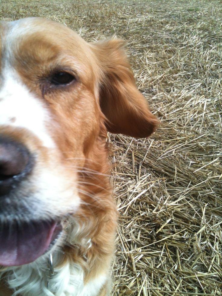 beanie half retriever half spaniel  mini golden style guru happy dog   visit stylebeanie.blogspot.com