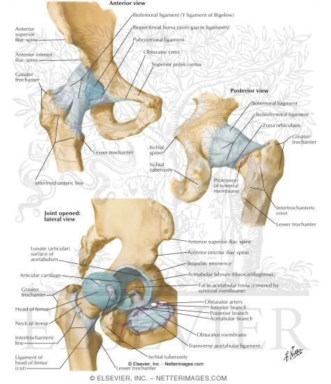 8 Best Anatomy Of Hip Images On Pinterest Hip Anatomy Health And