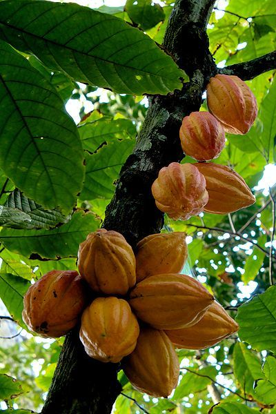 Assorted cacao fruits on the tree --   Theobroma cacao -- also cacao tree and cocoa tree, is a small (4–8 m (13–26 ft) tall) evergreen tree in the family Sterculiaceae (alternatively Malvaceae), native to the deep tropical region of the Americas. Its seeds are used to make cocoa powder and chocolate.
