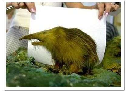 Since its discovery in 1861 by the German naturalist Wilhelm Peters, only 36 had ever been caught. By 1970, some thought that the Cuban Solenodon had become extinct, since no specimens had been found since 1890. The Cuban Solenodon that was found in 2003, named Alejandrito, brought the number ever caught to 37