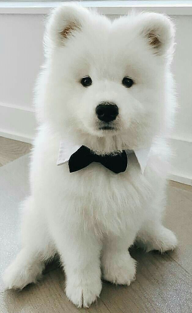 so fluffy! | cuties - cute animals, samoyed dogs en cute dogs