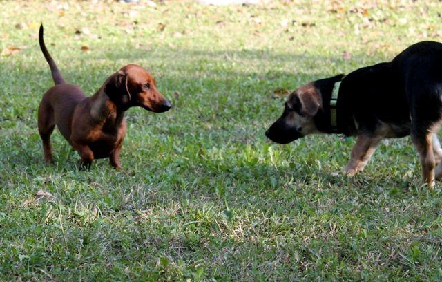 """Mia, dachsund, and Jolly, """"bonsai"""" German Shepherd mix, meet. / Mia, la bassottina, e Jolly, un pastore tedesco """"bonsai"""", s'incontrano per la prima volta."""