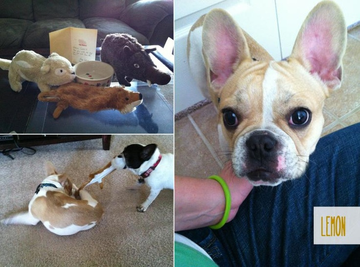 Frenchie Lemon, the new foster frenchie at French Bulldog Rescue Network.