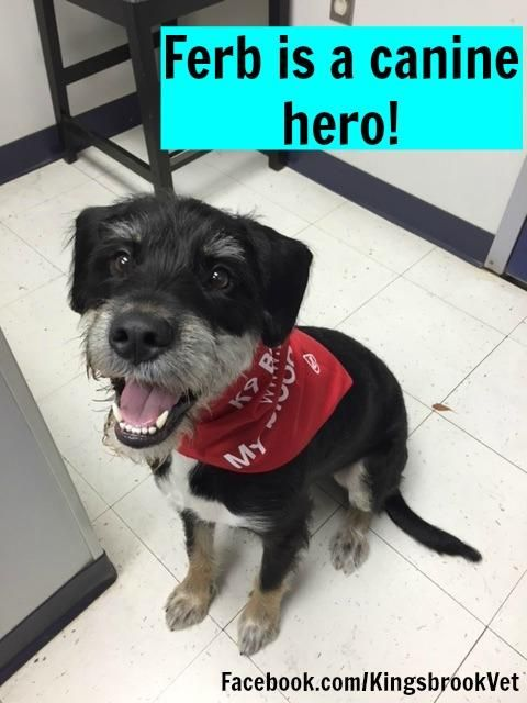 We wanted to give a HUGE shout out to one of our patients, Ferb! Ferb is a 1 1/2 year old Rottweiler mix who recently made his VERY FIRST DONATION with the Blue Ridge Veterinary Blood Bank! Yay for Ferb! Welcome to the heroes club buddy! #AnimalHospital #Veterinarian #Pets #KAH #FrederickMaryland #KingsbrookAnimalHospital #Vet #BloodDonation #CanineBloodDoners #CanineHeroes #BlueRidge #BloodBank