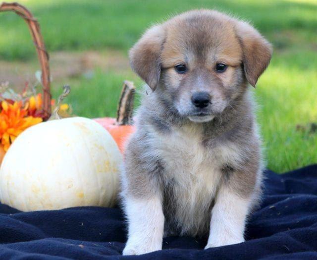 Anatolian Shepherd Mix Puppies For Sale Puppy Adoption Keystone Puppies Shepherd Mix Puppies Puppy Adoption Puppies