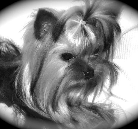 Northshore Yorkshire Terriers| Yorkie Puppies for Sale in Nashville, TN