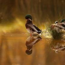 Cape Verde ducks