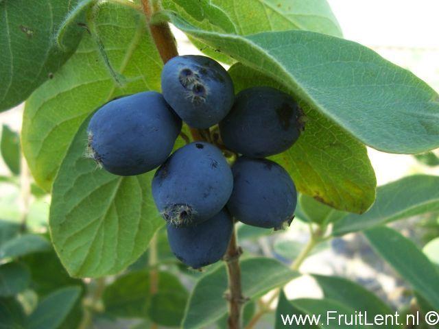 vruchten van de honingbes 'Kiev No. 8'
