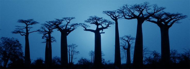 Baobab A Collection Of Ideas To Try About Other Trees