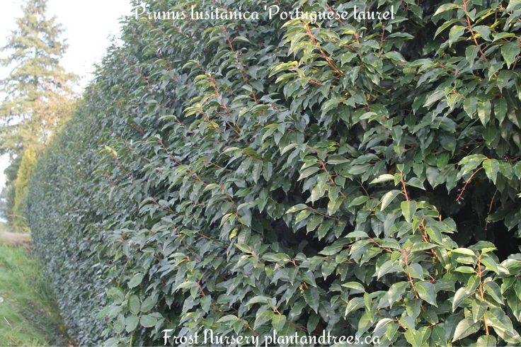 Portugal laurel Portugues laurel Prunus lusitanica Dark glossy evergreen leaves on red stems Plant & Tree Nursery Vancouver