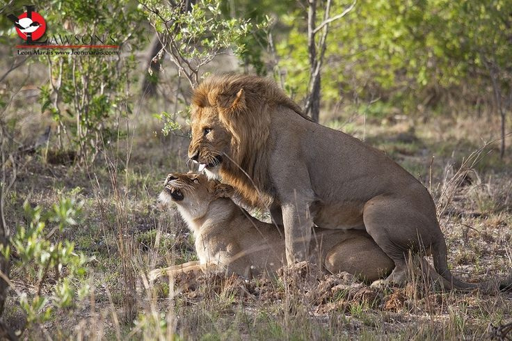 Sowing the seeds for his future: Birmingham male, #SabiSand #safari #photography